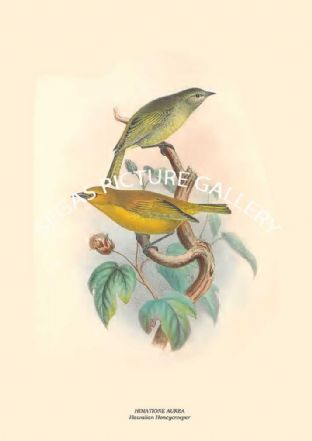 HIMATIONE AUREA - Hawaiian Honeycreeper